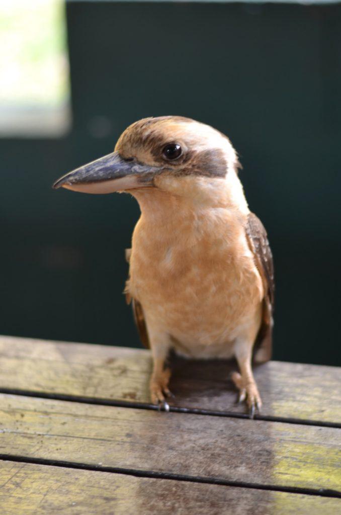 Oiseau souvent rencontré en Australie