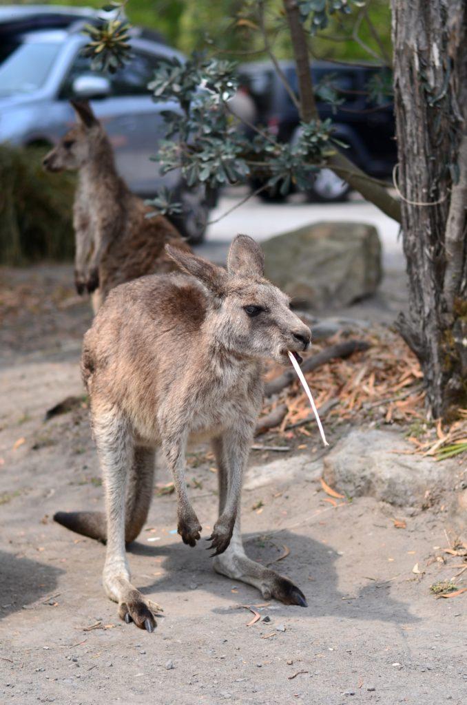 Kangourous à Jervis Bay