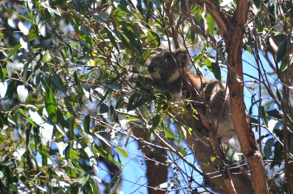 Un koala au sommet d'un arbre